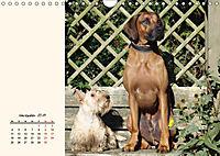 Scottish Terrier - Charmantes Rauhbein (Wandkalender 2019 DIN A4 quer) - Produktdetailbild 11