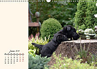 Scottish Terrier - Charmantes Rauhbein (Wandkalender 2019 DIN A3 quer) - Produktdetailbild 1