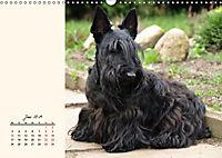 Scottish Terrier - Charmantes Rauhbein (Wandkalender 2019 DIN A3 quer) - Produktdetailbild 6