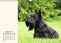 Scottish Terrier - Charmantes Rauhbein (Wandkalender 2019 DIN A3 quer) - Produktdetailbild 9