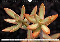 Sedum Schönheiten im Garten (Wandkalender 2019 DIN A4 quer) - Produktdetailbild 11