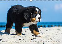 Seebärchen entdecken die Welt - Berner Sennenhunde (Wandkalender 2019 DIN A3 quer) - Produktdetailbild 10