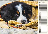 Seebärchen entdecken die Welt - Berner Sennenhunde (Wandkalender 2019 DIN A3 quer) - Produktdetailbild 1