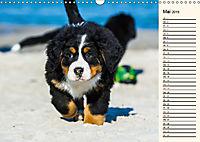 Seebärchen entdecken die Welt - Berner Sennenhunde (Wandkalender 2019 DIN A3 quer) - Produktdetailbild 5
