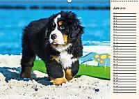 Seebärchen entdecken die Welt - Berner Sennenhunde (Wandkalender 2019 DIN A2 quer) - Produktdetailbild 6