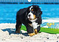 Seebärchen entdecken die Welt - Berner Sennenhunde (Wandkalender 2019 DIN A4 quer) - Produktdetailbild 6