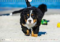 Seebärchen entdecken die Welt - Berner Sennenhunde (Wandkalender 2019 DIN A4 quer) - Produktdetailbild 5