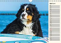 Seebärchen entdecken die Welt - Berner Sennenhunde (Wandkalender 2019 DIN A4 quer) - Produktdetailbild 4