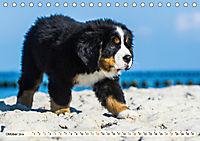 Seebärchen entdecken die Welt - Berner Sennenhunde (Tischkalender 2019 DIN A5 quer) - Produktdetailbild 10