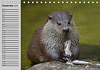 Seehunde und Otter. Putzige Gesellen, perfekte Schwimmer (Tischkalender 2019 DIN A5 quer) - Produktdetailbild 5