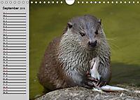 Seehunde und Otter. Putzige Gesellen, perfekte Schwimmer (Wandkalender 2019 DIN A4 quer) - Produktdetailbild 9
