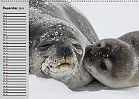 Seehunde und Otter. Putzige Gesellen, perfekte Schwimmer (Wandkalender 2019 DIN A2 quer) - Produktdetailbild 12