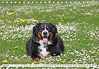Sennenhund Rassen (Tischkalender 2019 DIN A5 quer) - Produktdetailbild 6