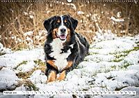 Sennenhund Rassen (Wandkalender 2019 DIN A2 quer) - Produktdetailbild 2