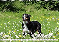 Sennenhund Rassen (Wandkalender 2019 DIN A2 quer) - Produktdetailbild 5