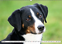Sennenhund Rassen (Wandkalender 2019 DIN A2 quer) - Produktdetailbild 7