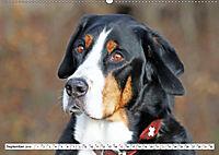 Sennenhund Rassen (Wandkalender 2019 DIN A2 quer) - Produktdetailbild 9