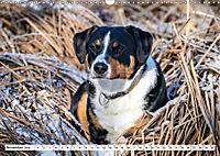 Sennenhund Rassen (Wandkalender 2019 DIN A3 quer) - Produktdetailbild 11
