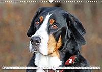 Sennenhund Rassen (Wandkalender 2019 DIN A3 quer) - Produktdetailbild 9