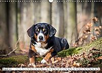 Sennenhund Rassen (Wandkalender 2019 DIN A3 quer) - Produktdetailbild 8
