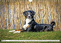 Sennenhund Rassen (Wandkalender 2019 DIN A4 quer) - Produktdetailbild 3