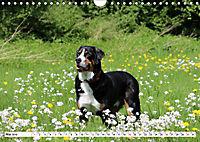Sennenhund Rassen (Wandkalender 2019 DIN A4 quer) - Produktdetailbild 5