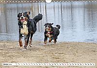 Sennenhund Rassen (Wandkalender 2019 DIN A4 quer) - Produktdetailbild 10