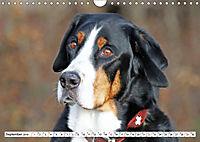 Sennenhund Rassen (Wandkalender 2019 DIN A4 quer) - Produktdetailbild 9