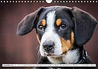 Sennenhund Rassen (Wandkalender 2019 DIN A4 quer) - Produktdetailbild 12