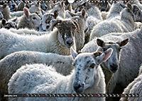 Sheep Portraits (Wall Calendar 2019 DIN A3 Landscape) - Produktdetailbild 1