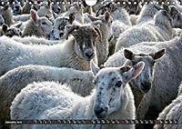 Sheep Portraits (Wall Calendar 2019 DIN A4 Landscape) - Produktdetailbild 1