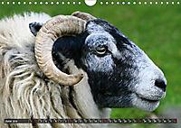 Sheep Portraits (Wall Calendar 2019 DIN A4 Landscape) - Produktdetailbild 6