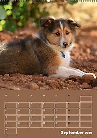 SHELTIES Herzensbrecher auf 4 Pfoten (Wandkalender 2019 DIN A2 hoch) - Produktdetailbild 9