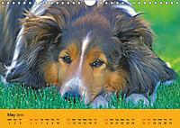 Shetland Sheepdogs (Wall Calendar 2019 DIN A4 Landscape) - Produktdetailbild 5