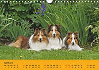 Shetland Sheepdogs (Wall Calendar 2019 DIN A4 Landscape) - Produktdetailbild 4