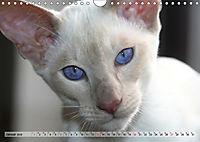 Siamkatzen - Kleiner Frechdachs mit Familie (Wandkalender 2019 DIN A4 quer) - Produktdetailbild 1