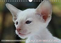 Siamkatzen - Kleiner Frechdachs mit Familie (Wandkalender 2019 DIN A4 quer) - Produktdetailbild 4