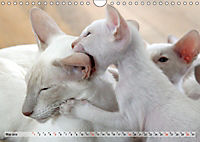 Siamkatzen - Kleiner Frechdachs mit Familie (Wandkalender 2019 DIN A4 quer) - Produktdetailbild 5