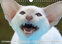 Siamkatzen - Kleiner Frechdachs mit Familie (Wandkalender 2019 DIN A4 quer) - Produktdetailbild 6