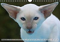 Siamkatzen - Kleiner Frechdachs mit Familie (Wandkalender 2019 DIN A4 quer) - Produktdetailbild 2