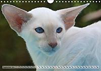Siamkatzen - Kleiner Frechdachs mit Familie (Wandkalender 2019 DIN A4 quer) - Produktdetailbild 9