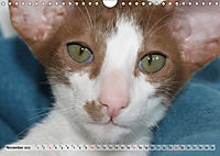 Siamkatzen - Kleiner Frechdachs mit Familie (Wandkalender 2019 DIN A4 quer) - Produktdetailbild 11