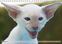 Siamkatzen - Kleiner Frechdachs mit Familie (Wandkalender 2019 DIN A4 quer) - Produktdetailbild 12