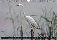 Silberreiher - elegante Jäger (Wandkalender 2019 DIN A4 quer) - Produktdetailbild 11