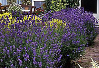 Staude Lavendel, 10 Stück, 7 cm Topf - Produktdetailbild 1