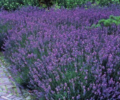 Staude Lavendel, 10 Stück, 7 cm Topf
