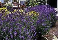 Staude Lavendel, 6 Stück, 7 cm Topf - Produktdetailbild 1