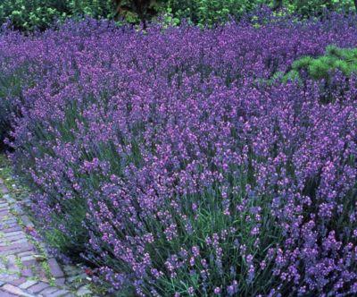 Staude Lavendel, 6 Stück, 7 cm Topf