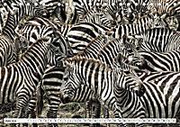 Streifen - Zebras in freier Wildbahn (Tischkalender 2019 DIN A5 quer) - Produktdetailbild 6