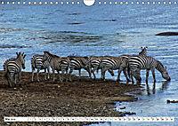 Streifen - Zebras in freier Wildbahn (Wandkalender 2019 DIN A4 quer) - Produktdetailbild 5